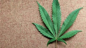 marijuana.si_