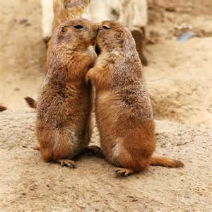 Oxytocin was first discovered in the mate-for-life prairie voles (above), and it is a neuropeptide that has been present in our evolutionary history for up to 700 million years!